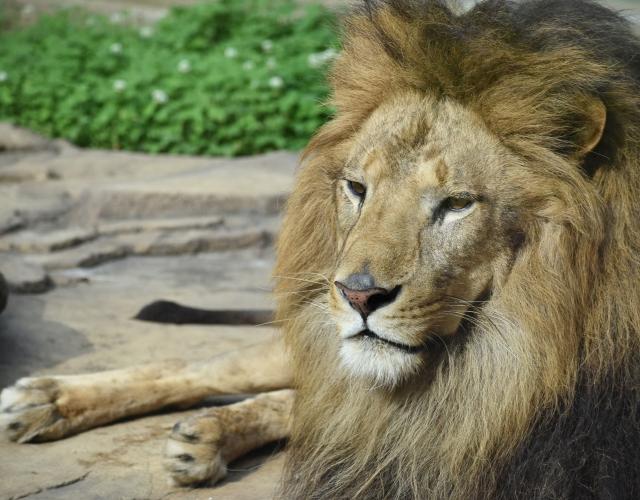 ライオンのオスの写真