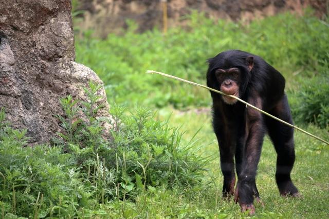 歩いているチンパンジーの写真